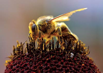 bees-pollen-flower