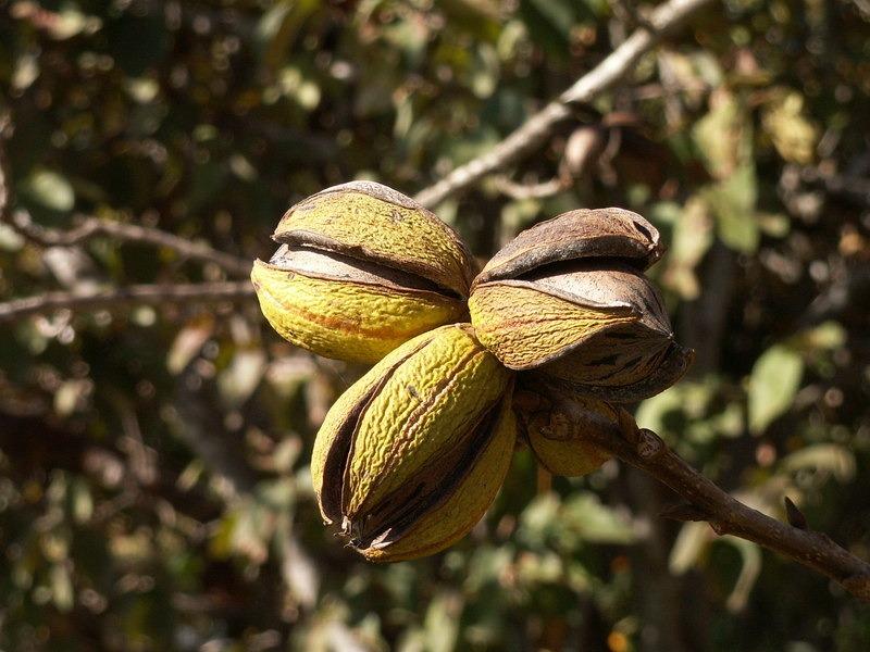 Pekándió a fán, Forrás: ontologyportal