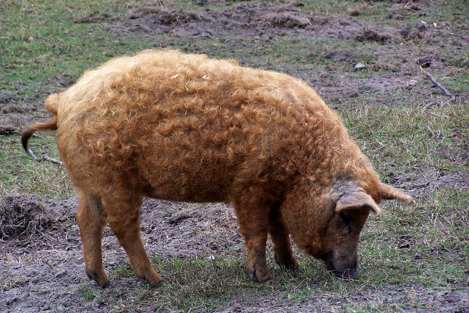 59-mangalitza-wollschwein