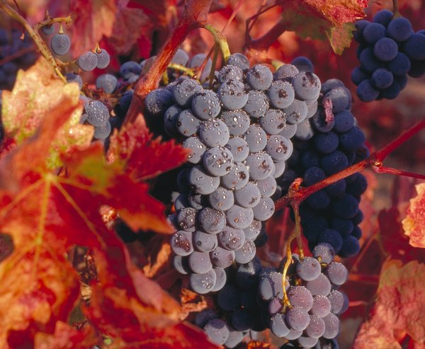 Zinfandel grapes prior to harvest