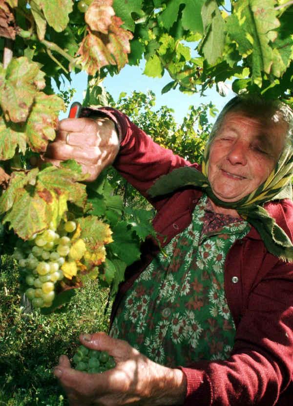 pez01_pezinok_wine1