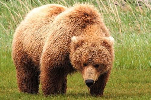 Ursus arctos, Forrás: humanbearconflict