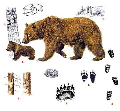 Ursus arctos, Forrás: vulkaner