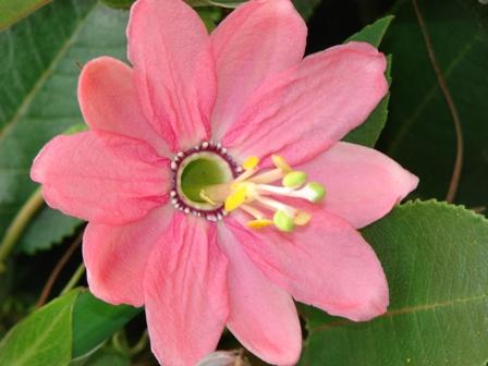 Bannana passionfruit Hilary Webb, Forrás: horizons.govt.nz