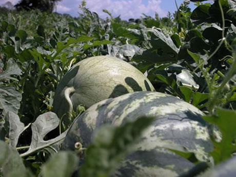 meloenen-1