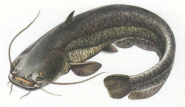 Lesőharcsa (Silurus glanis), Forrás: pozsarparadise.hu