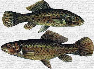 Lápi póc, őshonos, A Kárpát-medencében kialakult faj, Forrás: sulinet.hu
