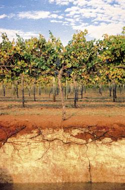 Terrarossa talajprofil, Rymill Coonawarra, Ausztália