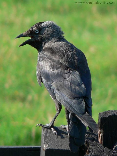 Csóka (Corvus monedula9, Forrás: wildanimalsonline.com