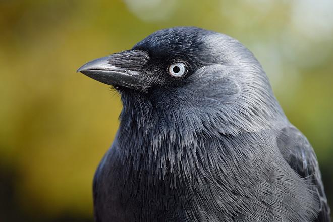 Csóka (Corvus monedula) Forrás: digitale-naturfotos.de