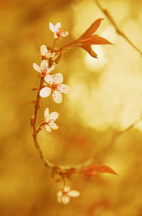 Cseresznyevirág: Photo: Wei Liu