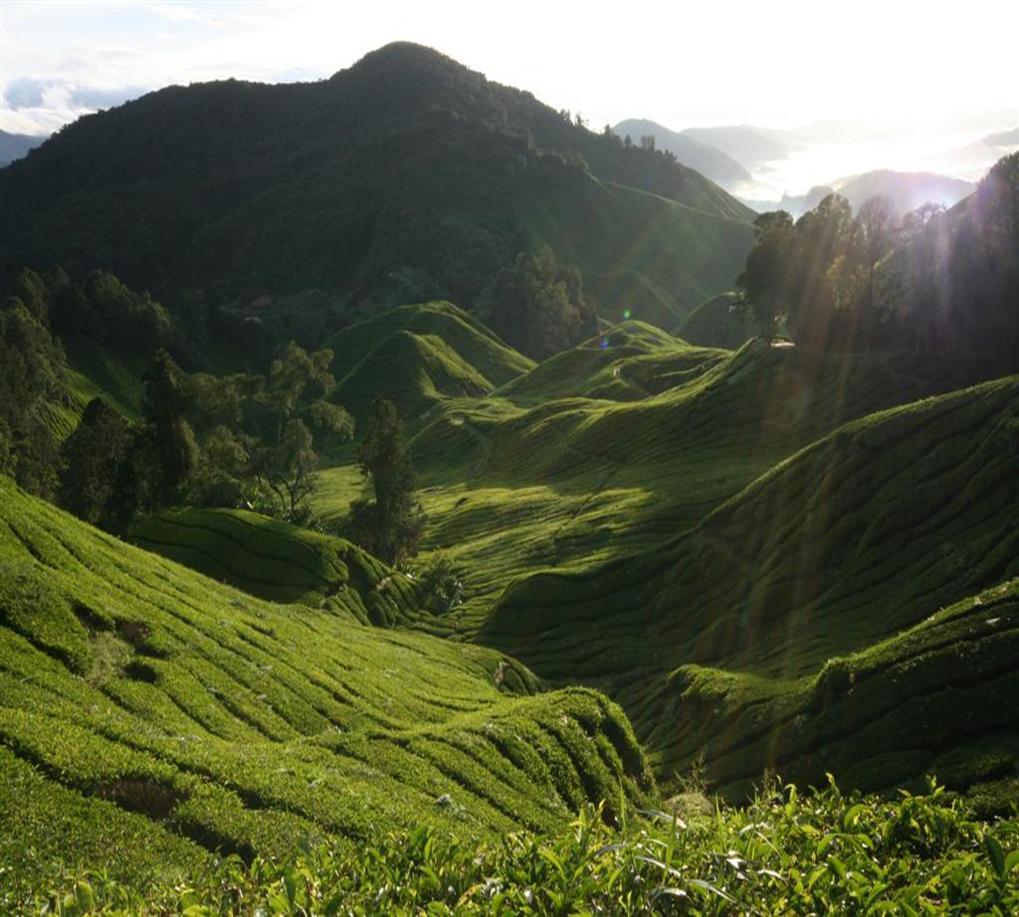 Cameron Highlands, Malajzia, teaültetvény; Forrás:  environe.blogspot.com