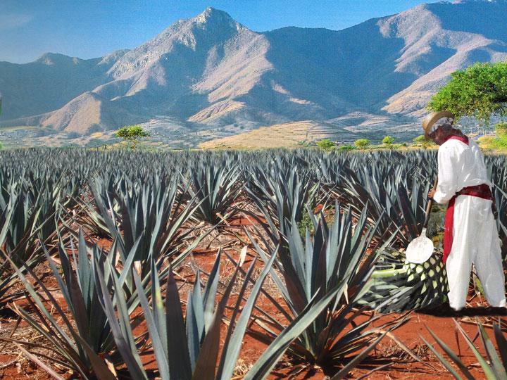Agave Jimador, Forrás: tequiladonweber.com