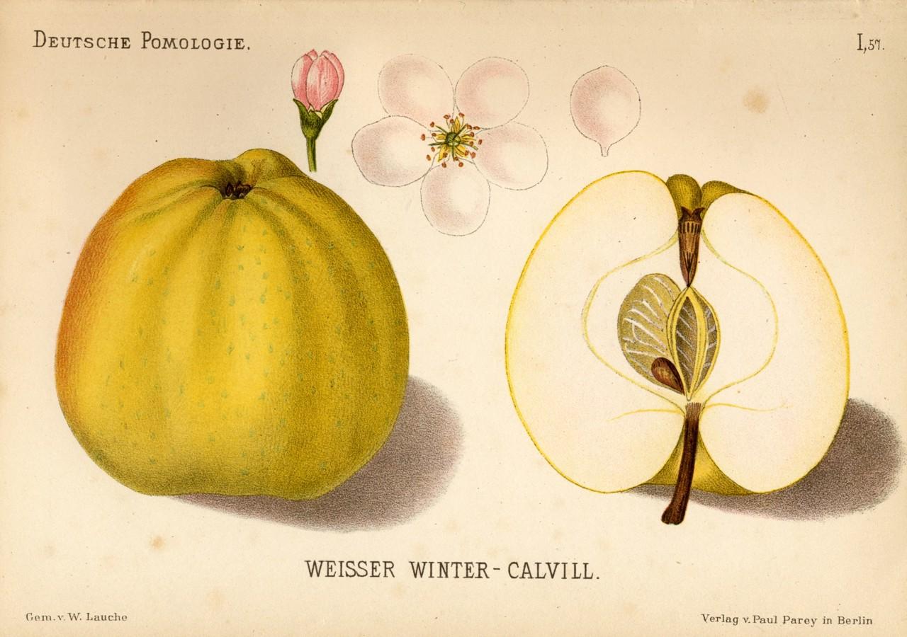 Calville-blanc; Forrás: wikimedia
