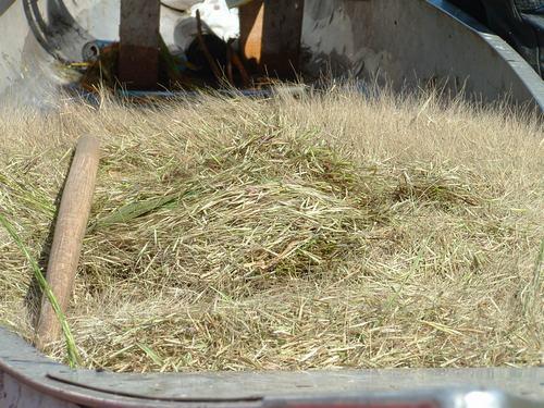 Betakarított vadrizs a csónakban, Forrás: savewildrice.org