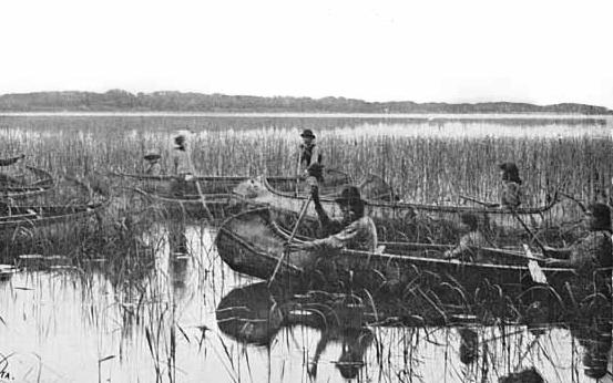 Manoomin netakarítása, 1905, Minnesota , Forrás: wikimedia