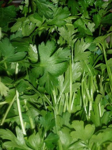 Petrezselyem zöld; www.foodandwine.hu