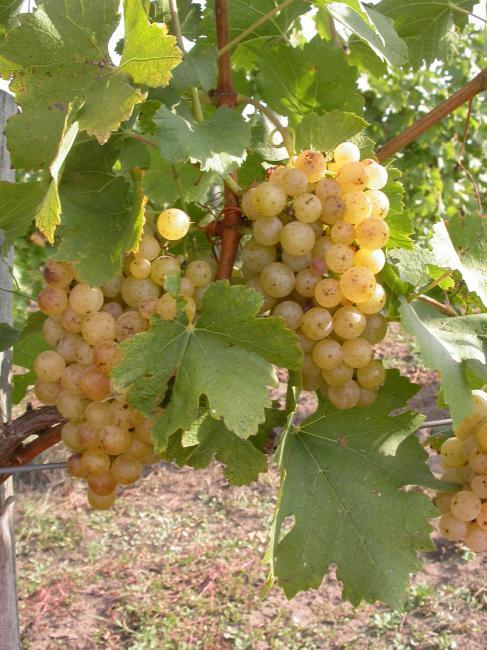 Írsai oliver; Forrás: hungaricumborszalon.hu