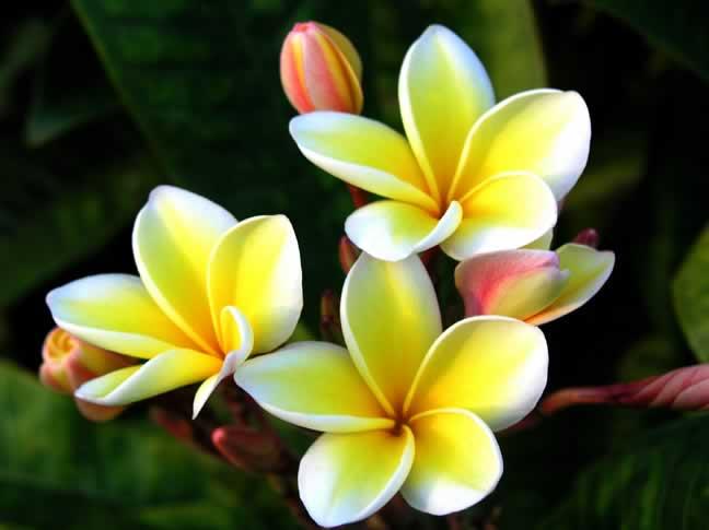 Plumeria; Forrás:  souriyakousonsavath.com