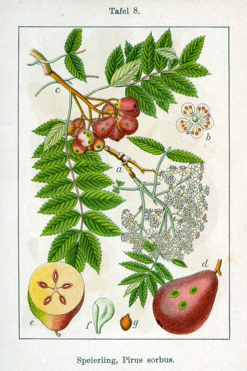 Sorbus domestica; Forrás wikipedia