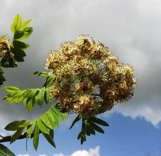 Sorbus domestica; Forrás: sophy.u-3mrs.fr