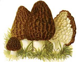Kucsmagomba (Morchella deliciosa); Forrás:  prairieworksinc.com