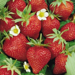 Eper, Forrás: strawberryplanters.net