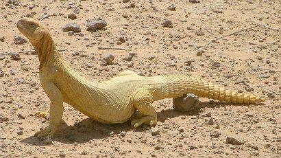 Uromastyx (dhab), Szaud-Arábia, Forrás: englishcafe.com