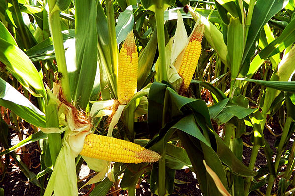 0727-corn-drought-gas-prices_full_600