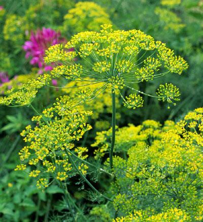 Dill, Bouquet-Herb Seedsp