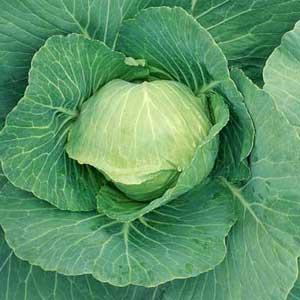 veg_cabbage4_300