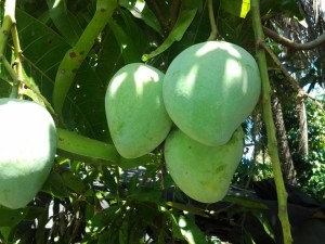 Indiai mangó