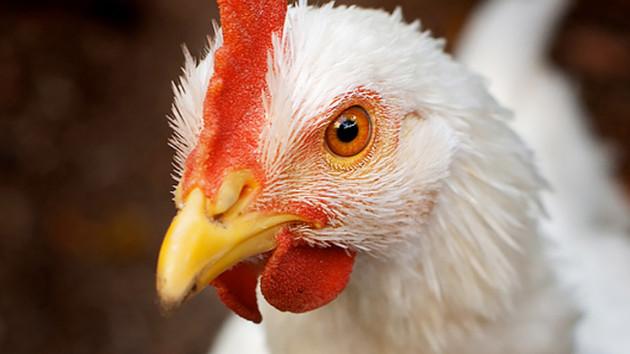 Ne mossad le! - A nyers csirkehúst soha ne mossad le!