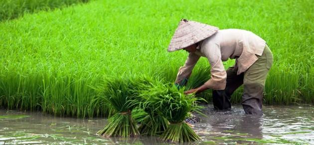 Vietnami rizsföld