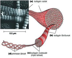 Kollagén rostok, fibrillumok,molekulák, láncok.(Forrás: scitec.hu)