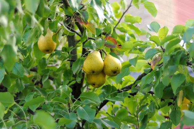 Körtefa (Forrás: gardeningknowhow.com)