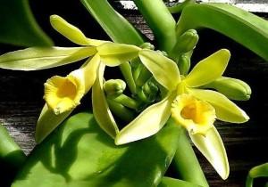 Vanilla-Orchid-.jpeg