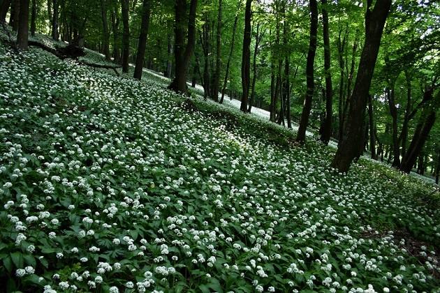 Medvehagyma (Allium ursinum) (Forrás: thetreatmentherbs.com)