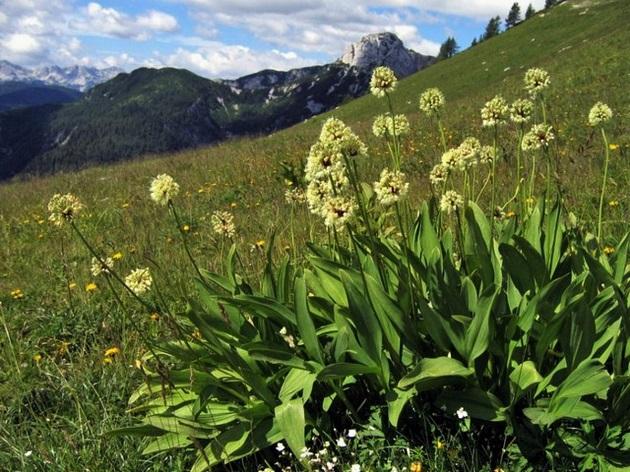 Győzedelmes hagyma, vagy Havasi hagyma (Allium victorialis) (Forrás: wikipedia)