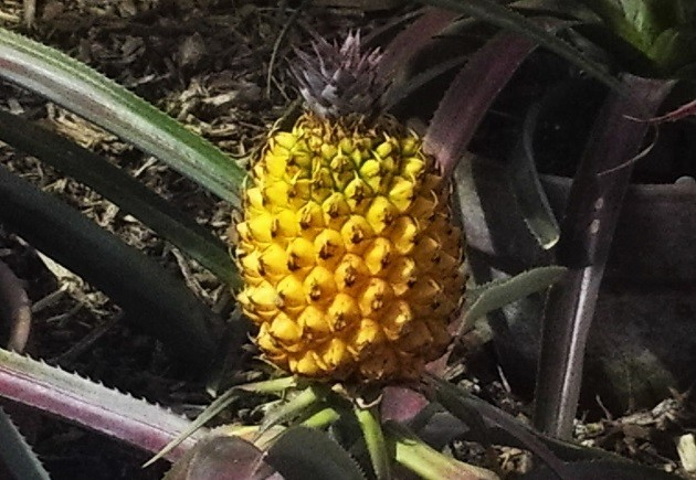 Ananász Heligan elveszett kertjéből (UK)