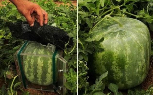 Szögletes görögdinnye (Japán)