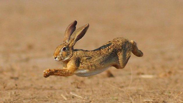 how-does-a-rabbit-move_5bb324e2-3f6a-4708-97ce-493e1816f510
