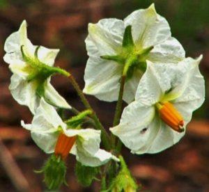 kartoffel-nutzpflanze-pflanze112-_v-img__16__9__xl_-d31c35f8186ebeb80b0cd843a7c267a0e0c81647