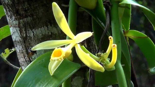 Vanília (Vanilla planifolia) - a konyhában használt, illatos vanília is ízfokozó hatású