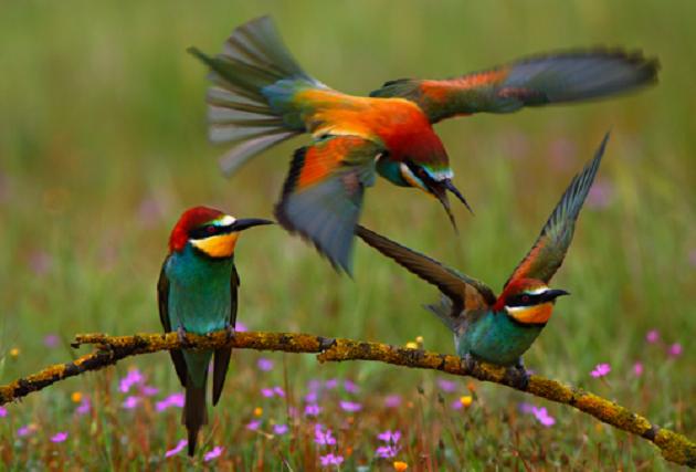 A társaságkedvelő Merops apiaster, vagyis a Gyurgyalag