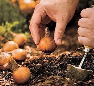 1425905992_planting-bulbs