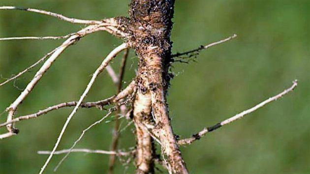 Vadmurok (Daucus carota)