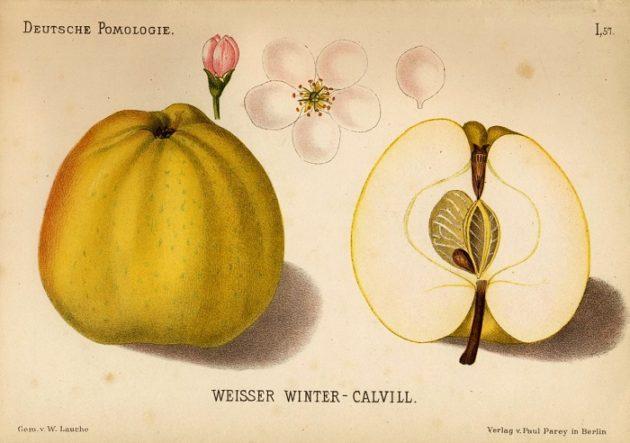 Téli fehér kálvil alma