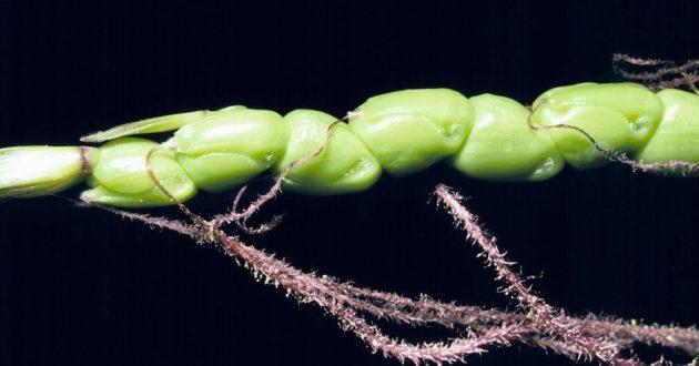 Teosinte - vadon élő kukorica ős (Zea diploperennis)