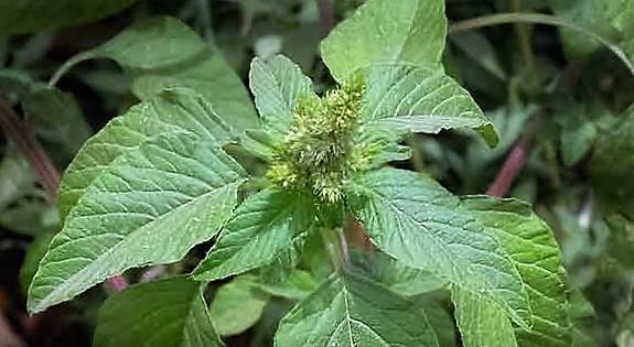 Szőrös disznóparéj (Amaranthus retroflexus)